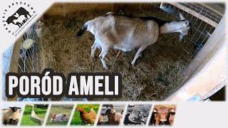 Lubuskie Angusowo - S1 E11 - Jak rodza kozy czyli porod naszej kozy Ameli