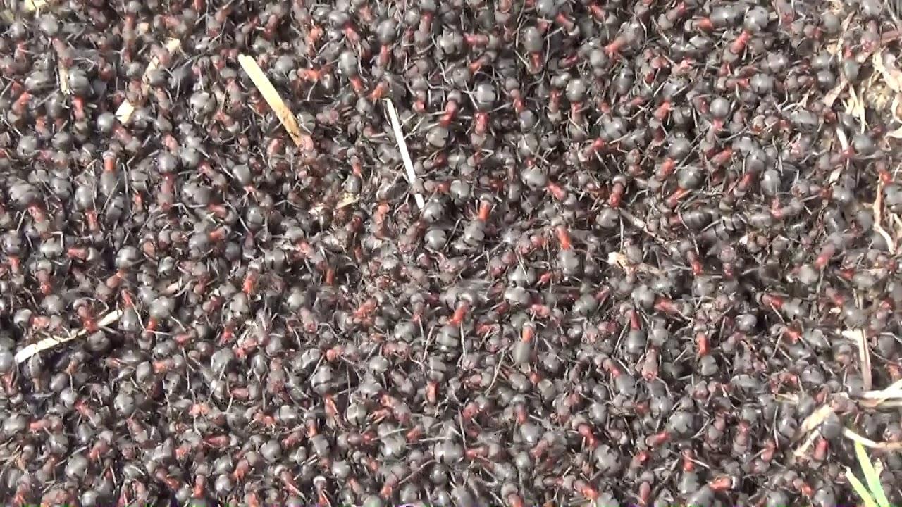 Férgek a hangyákban. Parazita hangya. Olvasási mód: