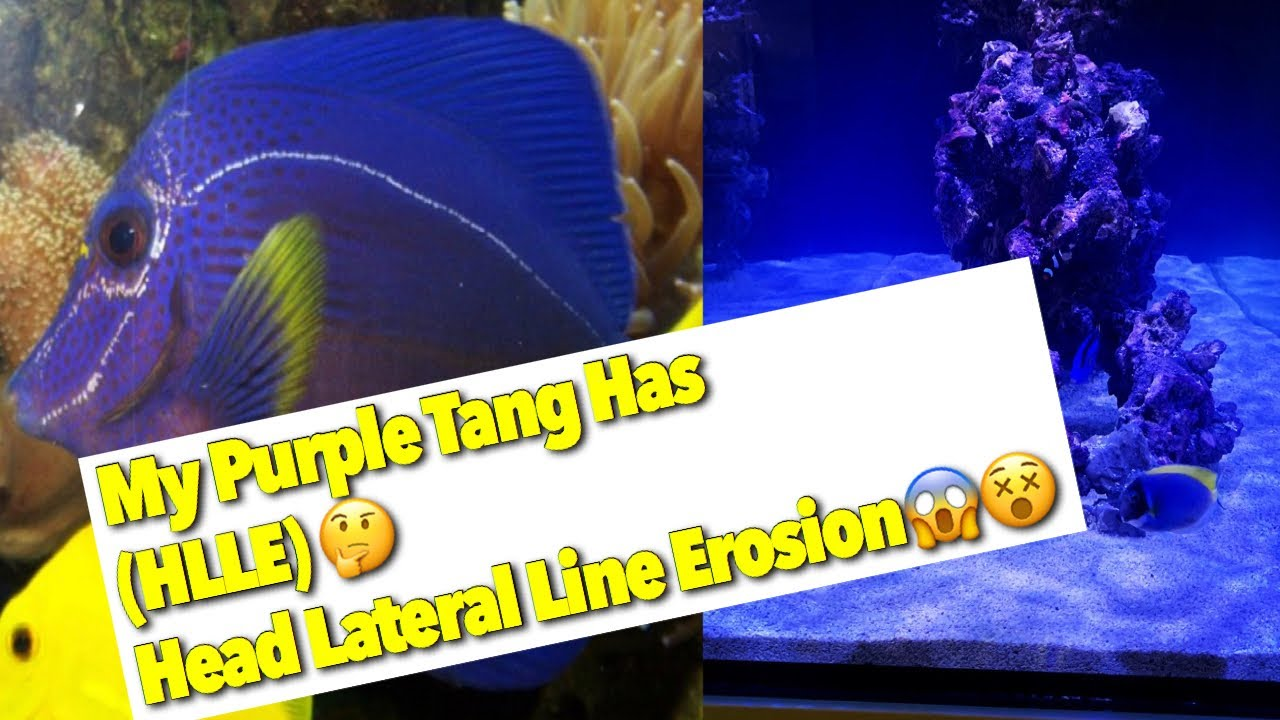 Download Episode 6: MY PURPLE TANG HAS Head Lateral Line Erosion - Waterbox Peninsula Dream Tank Build Update