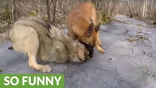 Wolf and dog share incredible friendship