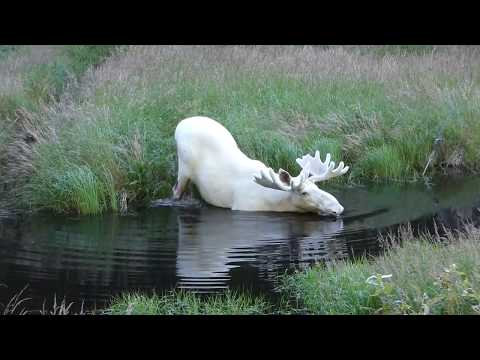 Extraordinary White Moose Takes a Dip in a Swedish Lake