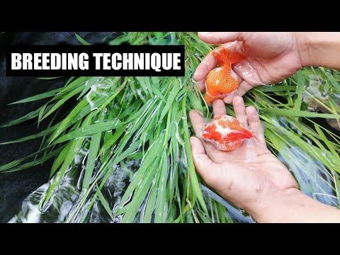 Natural Breeding | Ping Pong Goldfish | Pearl Scale Goldfish