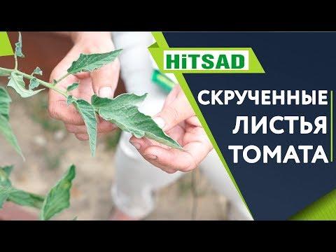 СПАСАЕМ ТОМАТЫ!!! 🍅 Скручивание Листьев 🍅 Советы От Хитсад ТВ