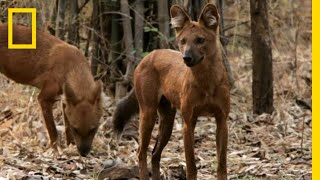 See the Wild Dog That Urinates In a Weird Way | National Geographic