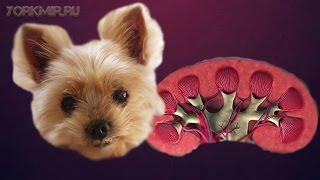 Пиелонефрит у собак | Признаки | Симптомы | Лечение.