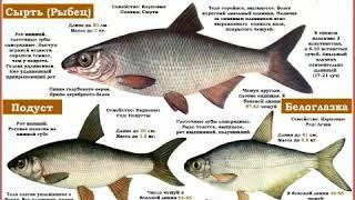 Рыбец,подуст,белогласка  отличие 3 рыб
