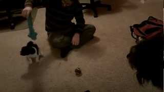 French Bulldog Puppy Fights Angry Pomeranian Chihuahua