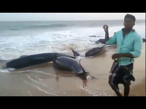 Dolphins washes ashore on Manapad Beach Tuticorin