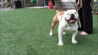 Classical Conditioning For Aggressive Dogs