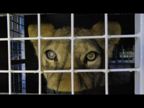 Roaring rescued lions free at last