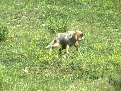 Yellowstone National Park - Coyote Killing Marmot
