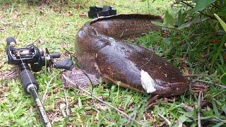 casting mancing dapat lele raksasa (big Catfish on baitcaster) with surecatch softfrog surtiny