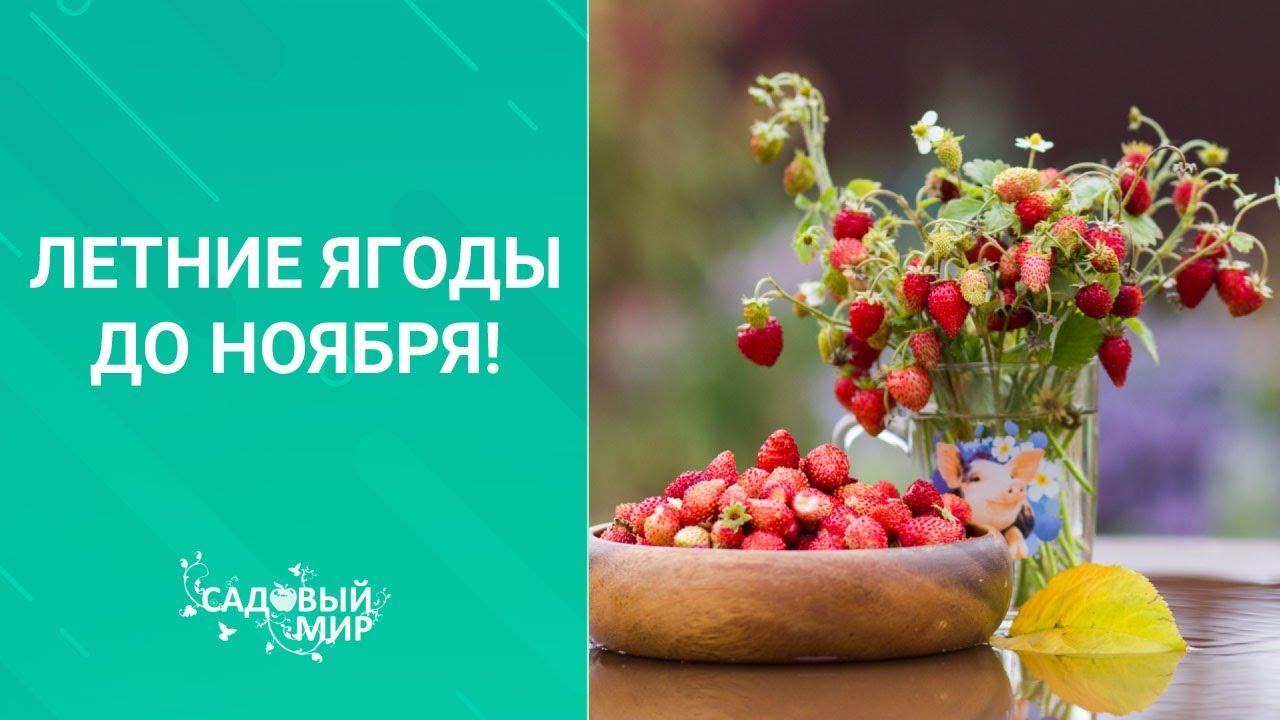 Земляника садовая:ароматные летние ягоды до ноября! Как зимует ремонтантная земляника. Уход.