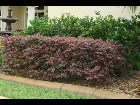 Loropetalum Shrubs Www Brighterblooms Com Youtube