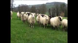 John Kelly - Sheep Farmer