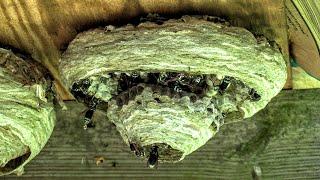 yellow-jacket-nest-queen-bald-faced-hornet-relocation