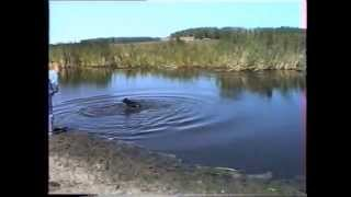Натаска Русских охотничьих спаниелей 1997 год
