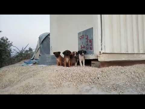 Ханаанские собаки כלבים כנעניים