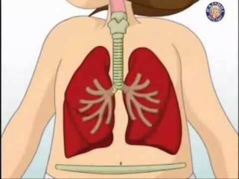 El cuerpo humano para ni os youtube for En k parte del cuerpo estan los rinones