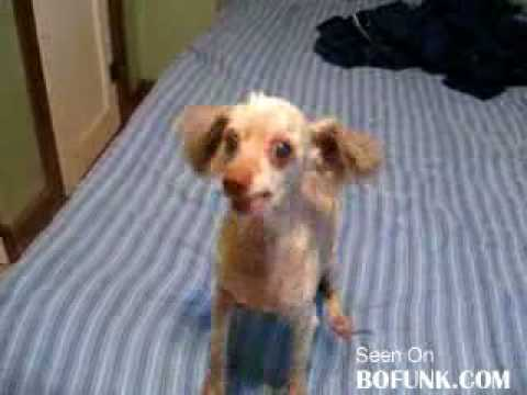 Small Dogs Are Retarded