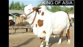 King of Asia - Shah Cattle Farm 2010