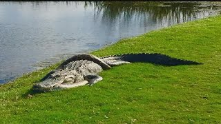 Gator and python spotted in entanglement on golf course