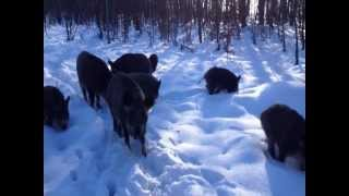 Дикі кабани - зустріч у лісі