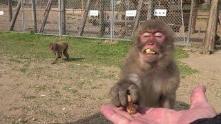 千葉県の高宕山自然動物園です。 サクの外にいる野生の猿さんと身近に触...