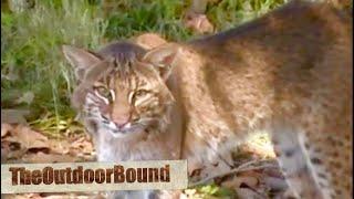 Fearless Illinois Bobcat