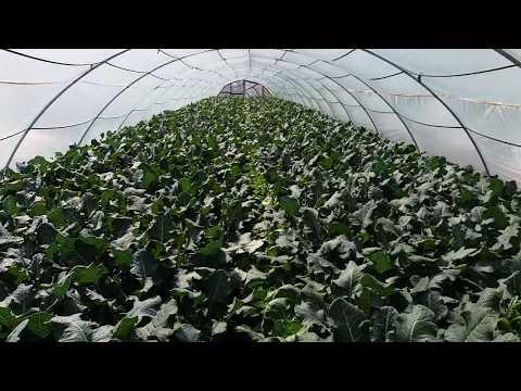 Выращивание капусты брокколи в теплицу 40 дней после высадки рассады 18 апреля 2018 г.
