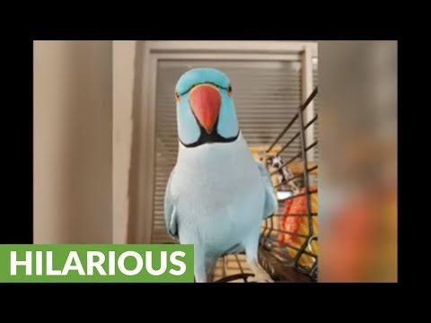 Talking parrot plays peekaboo with owner