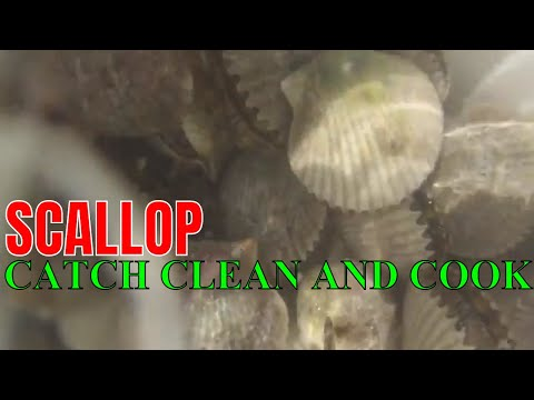 WILD CAUGHT BAY SCALLOPS CATCH CLEAN AND COOK