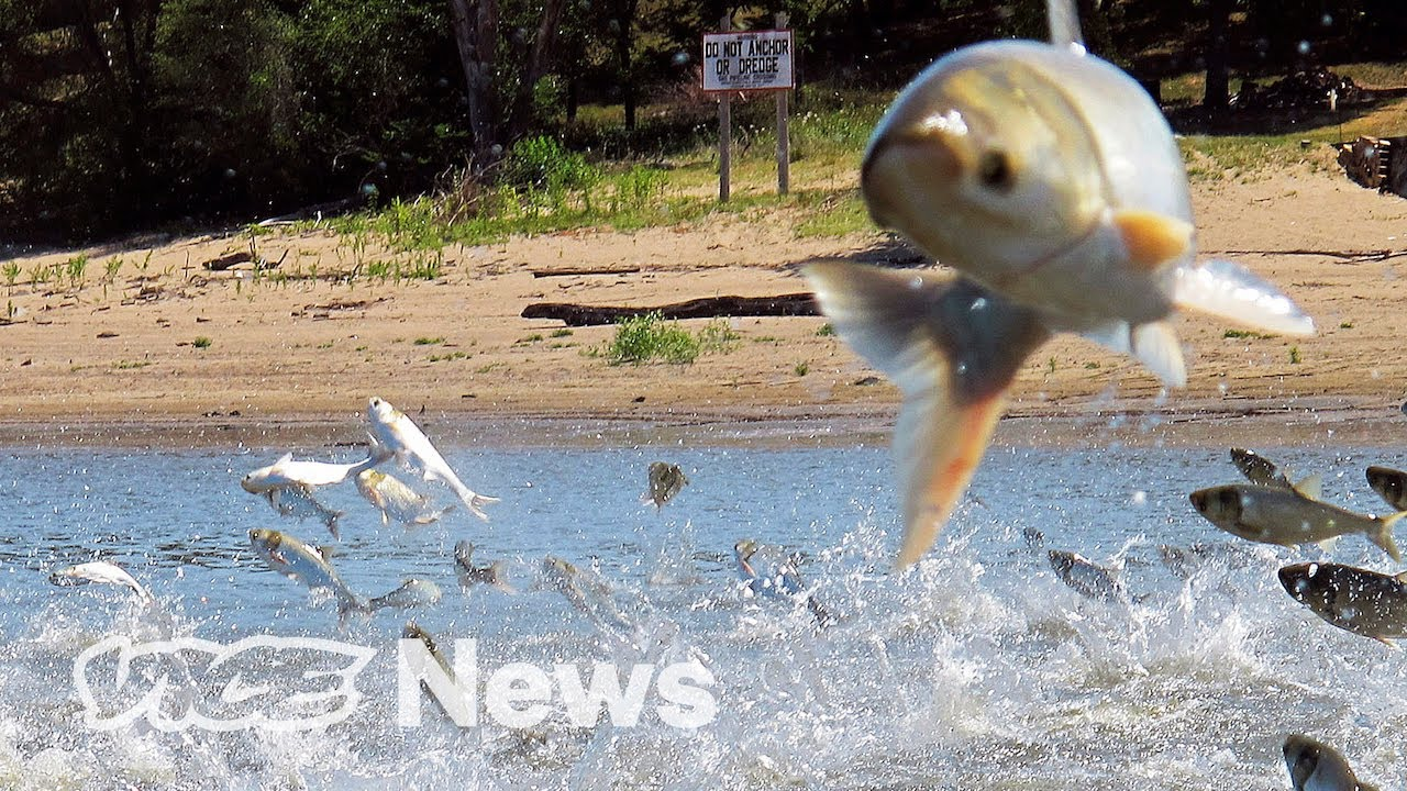 America's Most Hated Fish Are Being Purged By Electric Shocks and Sound VICE NEWS 26Octc20