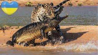 Бійки Тварин ● Дика Природа Африки, Америки та Європи ● ТОП 5 UA