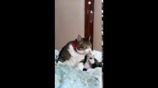 Funny cat licks her big belly