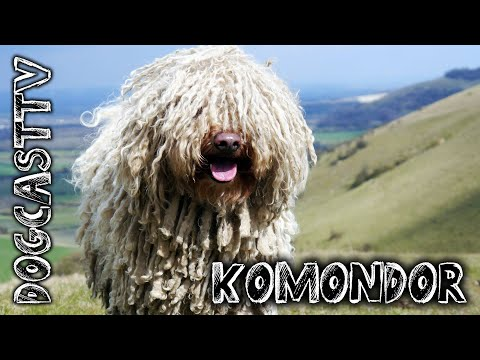 Komondor Dog - the ancient Hungarian shepherd breed!  DogCast TV S01E07