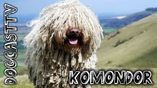 Komondor Dog Breed  the ancient Hungarian shepherd breed!  DogCastTV!