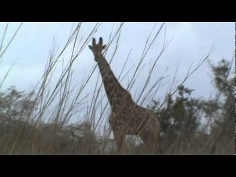 Girafas do Kissama
