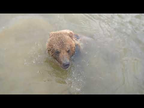 Любит ли плавать медведь и как он это делает