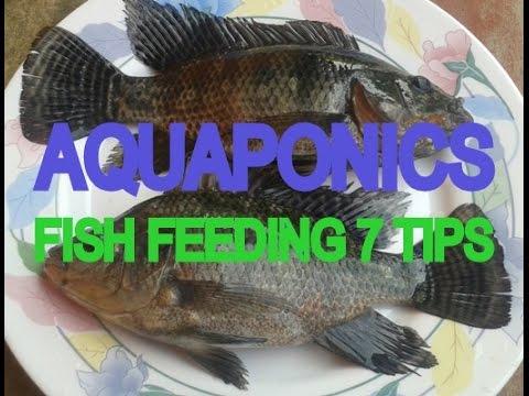 Aquaponics Fish Feeding 7 TIPS
