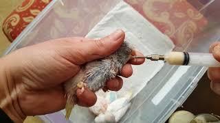 Muhabbet Kuşu Şırınga Mama Tarifi ve Yavru Muhabbet Kuş Nasıl Beslenir?