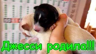 Семья Бровченко. Джесси родила чудесных щенят! (03.17г.)