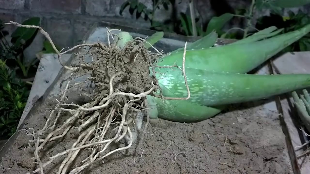 how to grow aloe vera plant at home how to grow aloe vera from runner urdu hindi youtube. Black Bedroom Furniture Sets. Home Design Ideas