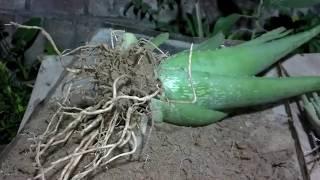 How to Grow Aloe Vera Plant at Home   How to Grow Aloe Vera From Runner (urdu/hindi)