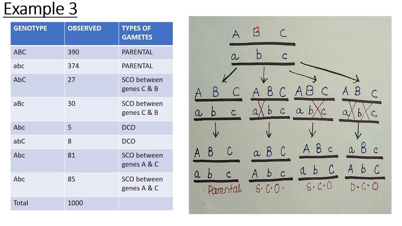 GENE ORDER | GENE DISTANCE | GENETIC MAPPING | PART-3 on heart map distance, genetic distance nei, cavalli-sforza genetic distance, linkage maps distance, genetic distance race, world map distance, genetic distance 1,