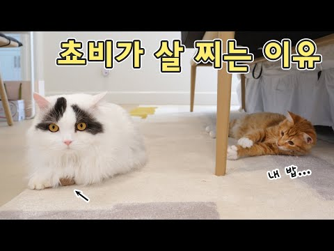 쵸비가 살 찌는 이유 알아냈습니다! 찐다 거대 고양이 살 빵빵