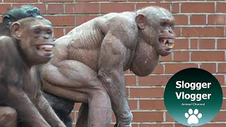 The \'Clash\' Of The Hairless Chimps