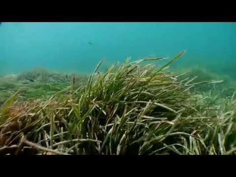 Posidonia oceánica: el tesoro sumergido