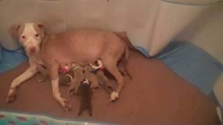Cleo & Newborn Puppies American Pit Bull Terriers