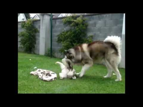Gentle Giant Alaskan Malamute playing with 8 weeks old Alaskan Malamute puppy
